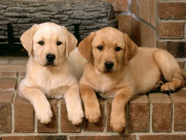 -Labradors-labradors-13635468-1600-1200.jpg