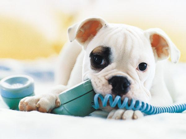 Puppy_on_Phone